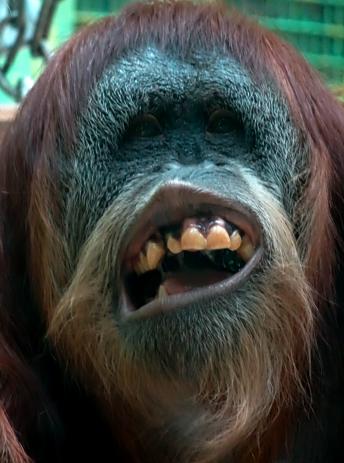 Einsames Orang Utah Weibchen im Zoo Zürich