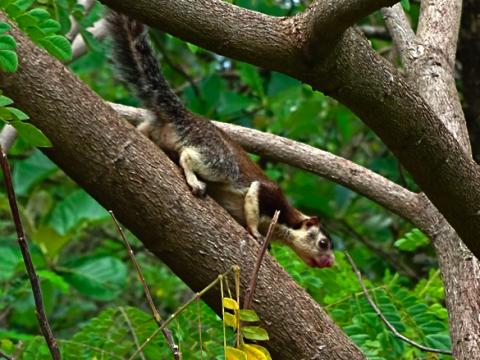 Rieseneichhörnchen bei Dambulla