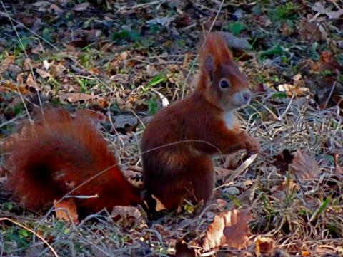 Eichhörnchen auf dem alten Südfriedhof