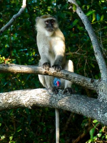 Grünmeerkatze an der Kazile Island Lodge