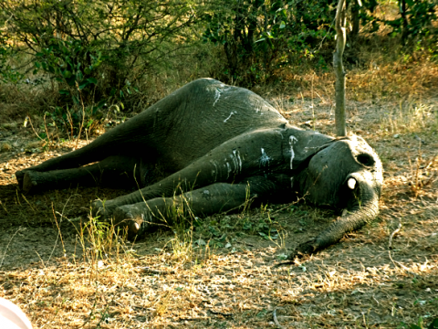 Totes Elefantenbaby im Bwabwata Nationalpark