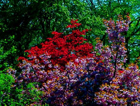 Baumblüte am Japanischen Teehaus im Englischen Garten