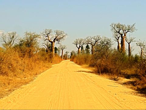 Straßenbaobabs auf dem Weg zum Weltnaturerbe Tsingys