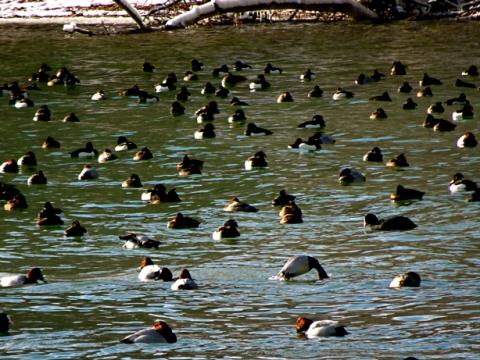 Entenpopulation am Starnberger See bei Possenhofen