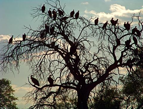 Geier im Bwabwata Nationalpark