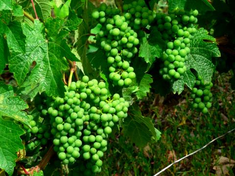 Weinanbau am Rheinsteig