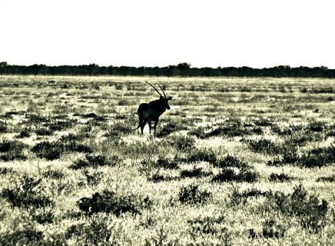 Oryx im Etosha Nationalpark