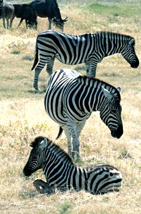 Steppenzebras im Etosha NP