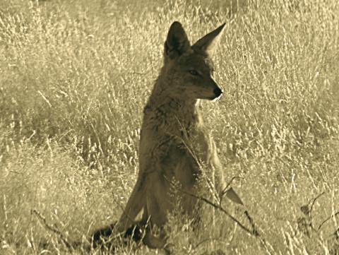 Schabrackenschakal im Etosha Nationalpark