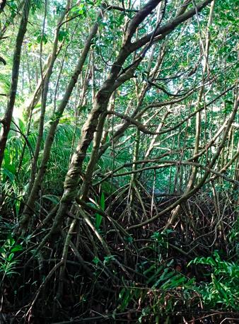 Mangroven am Anse Takamaka auf Mahe