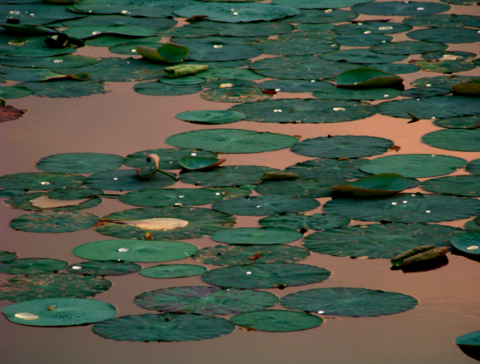 Seerosen beim Minneriya Nationalpark