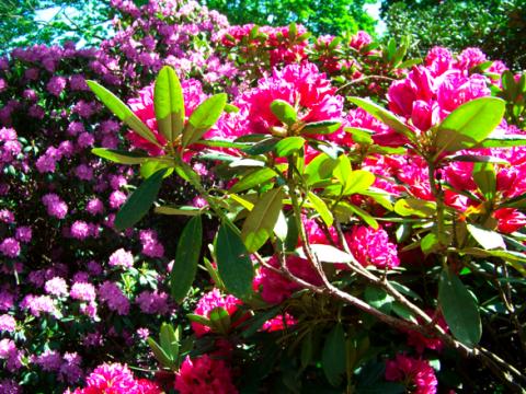 Rhododendron im Französischen Garten Celle