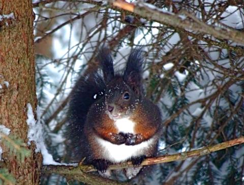 Eichhörnchen in Davos