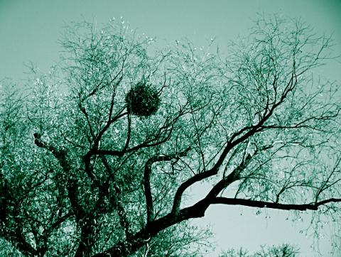 Mistel im winterlichen Englischen Garten