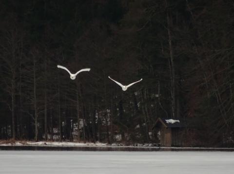 Startende Schwäne am winterlichen Schwansee im Schwangau