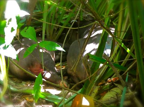 Tapirmutter mit Jungem im corcovado NP
