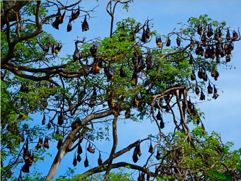 Flughundebäume bei Thanamalwiwa