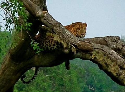 Leopard im Yalla Nationalpark