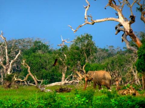 Indischer Elefant im Yalla Nationalpark