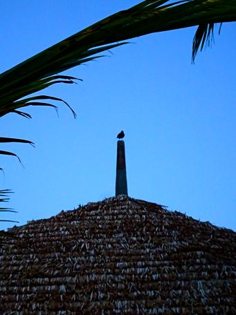 Hirtenstar auf der Strandbar vom anse Takamaka