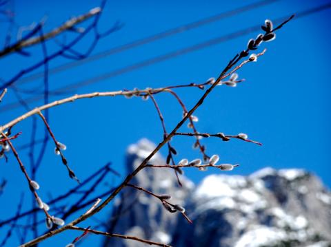 Wiedenkätzchen vor der Viererspitze des Karwendelgebirges bei Mittenwald
