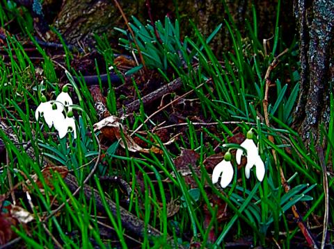 Schneeglöckchen am Alten Nordfriedhof