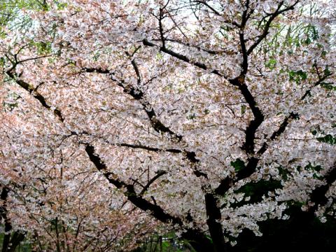 Baumblüte in Schwabing