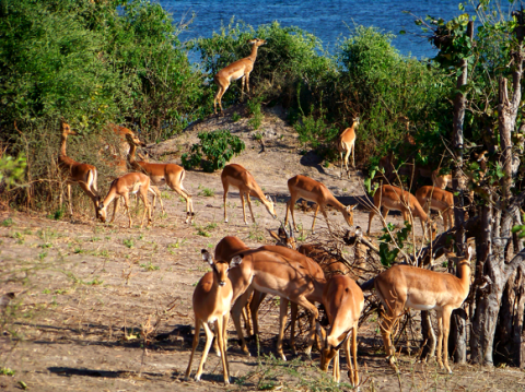 Impalas im Chobe Nationalpark