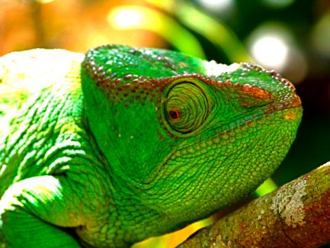 Madagaskar Chamäleon