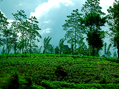 Teeplantagen im Hochland Sri Lankas