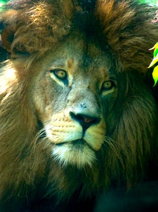 Löwenmännchen im Zoo Hellabrunn