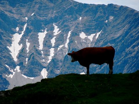 Kuh bei der Rotwand
