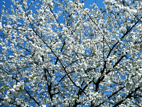 Obstblüte in Moosach