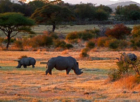 Nashörner an der Ghaub Lodge