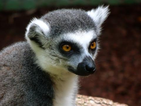 Katta im Zoo Hellabrunn