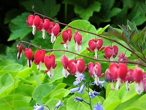 Tränendes Herz im Kräuter Erlebnis Garten von Benediktbeuern
