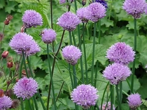 Blühender Schnittlauch im Kräuter Erlebnis Garten von Benediktbeuern
