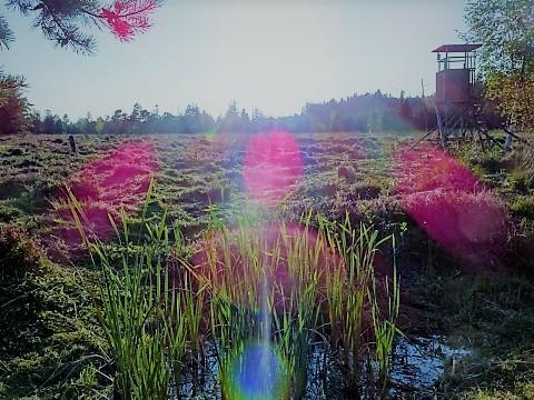 Heide im Burghamer Filz
