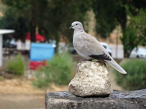 Taube in der Ausgrabungsstätte Volubilis