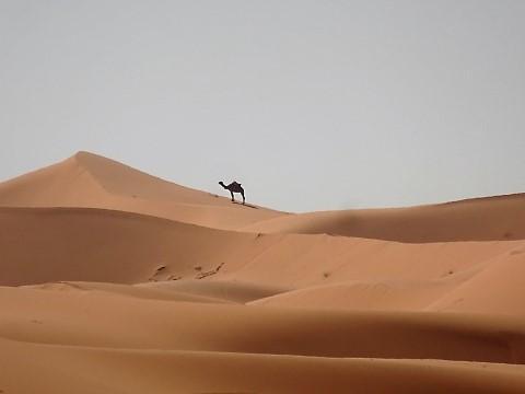 Kamel in den Sahara Dünen bei Erg Chebbi
