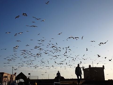 Möwen im Fischereihafen von Essaouira