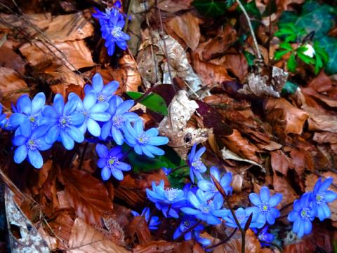 Erste Frühlingsboten im Ruhpoldinger Auenwald