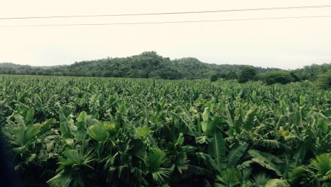 Bananenfelder Costa Rica